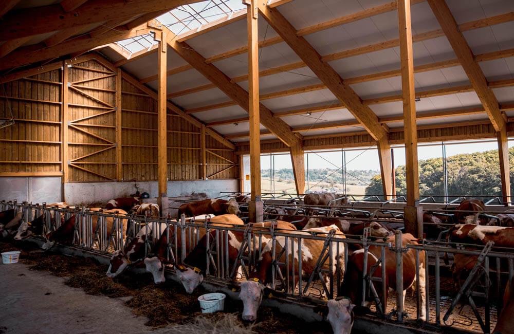 hlevi za krave molznice haas